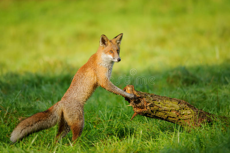 Red fox leaning to tree trunk. Red fox standing in green grass leaning to tree trunk in beautiful autumn sunlight stock photos