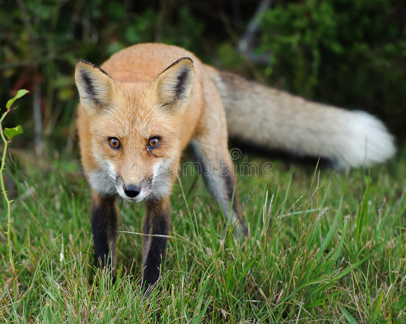 Download Red Fox Looking stock photo. Image of attention, looking - 26865048