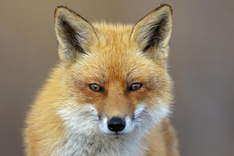 Download Red Fox stock photo. Image of mammal, cute, animal, portrait - 31615200