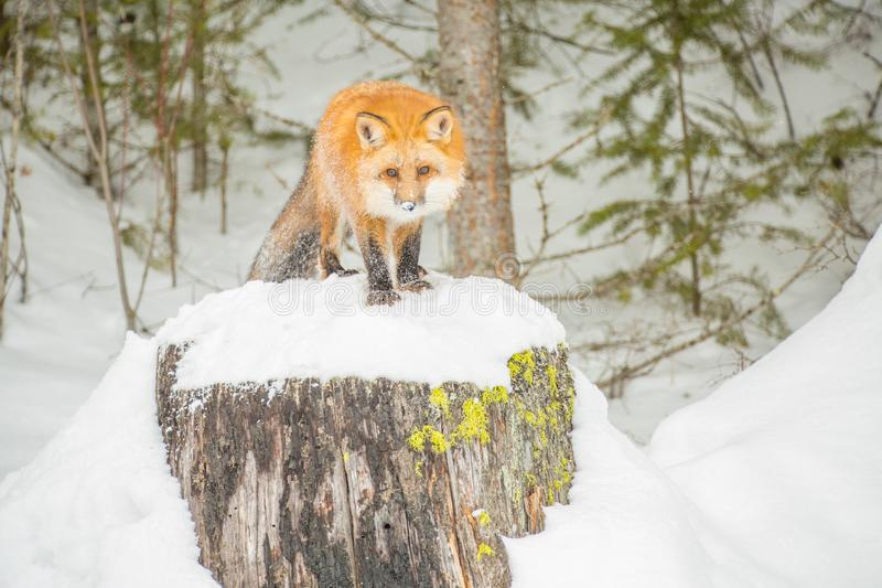 Red Fox Looking Directly in a Winter Forrest. Red Fox standing on a Snowy Tree stump looking directly at you stock images