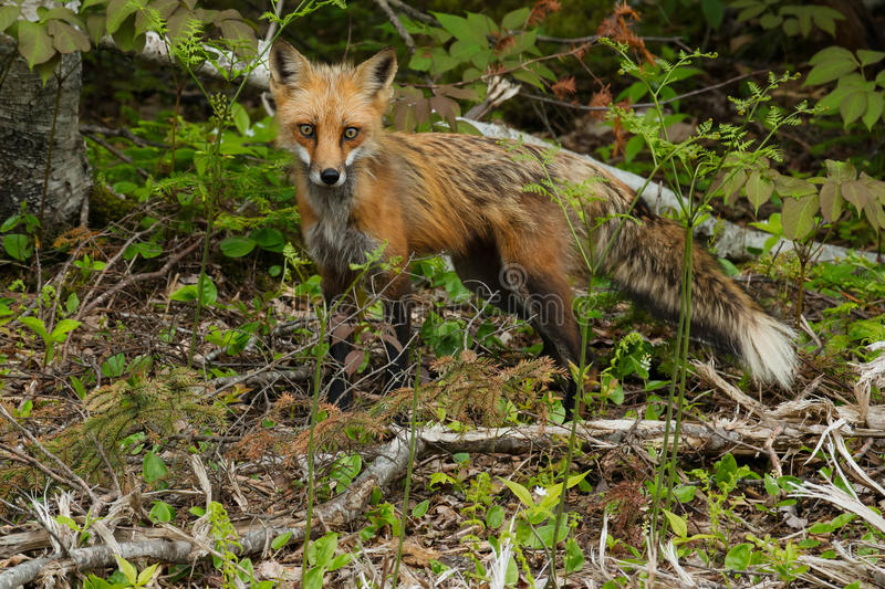 Red Fox. Looking down from a small hill. Antigonish County, Nova Scotia, Canada royalty free stock images