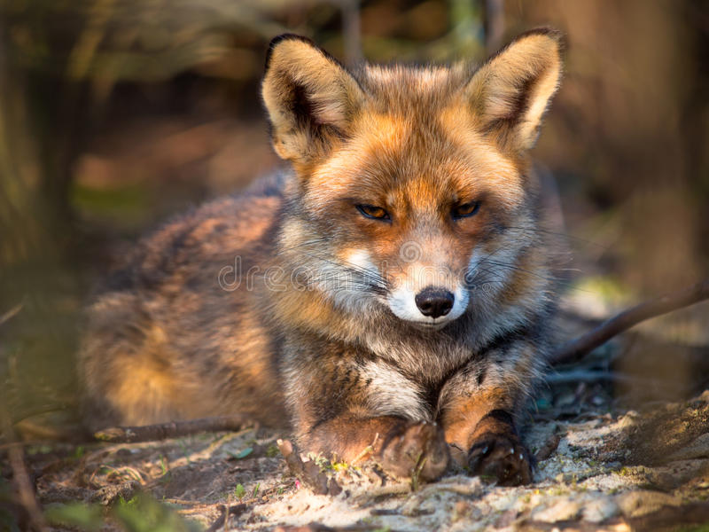 Download Red Fox lying stock photo. Image of field, beauty, europe - 27474398