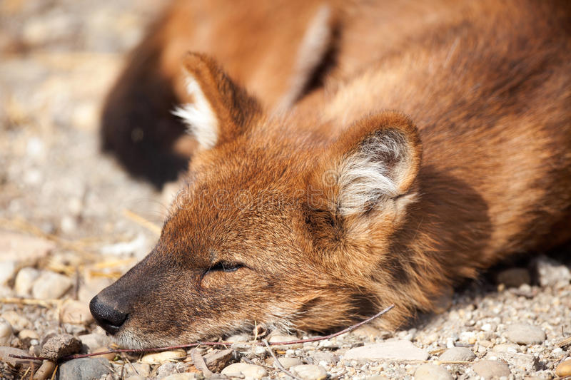 Download Red fox stock photo. Image of ground, amber, canids, chops - 40497960