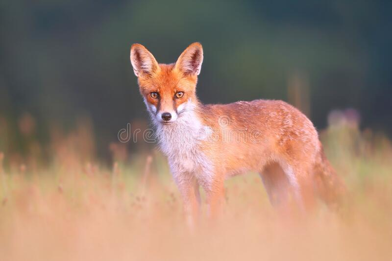 Red fox on a meadow looking attentively with blurred green background. Red fox, vulpes vulpes, standing on a meadow and looking attentively to camera with royalty free stock photography