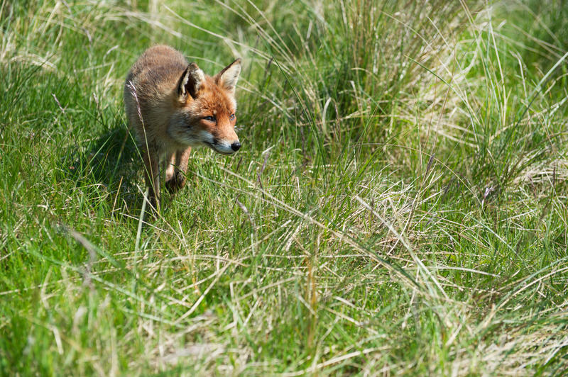 Download Red fox stock image. Image of netherlands, treess, holland - 31518717