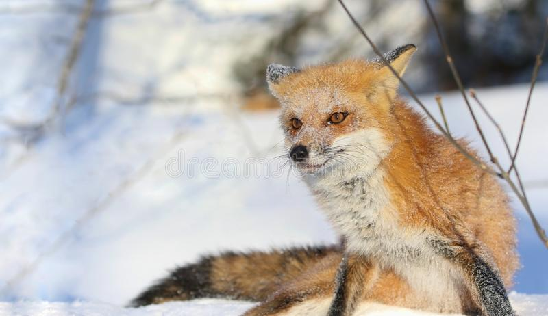 red fox in nature during winter stock photos