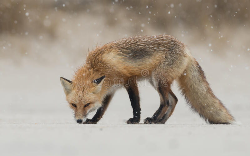 Red Fox. A red fox in New jersey royalty free stock photos