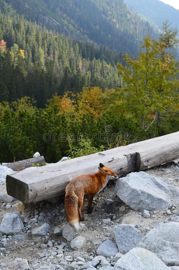 Red fox not afraid of people on hiking trail in High Tatras, Slovakia royalty free stock photo