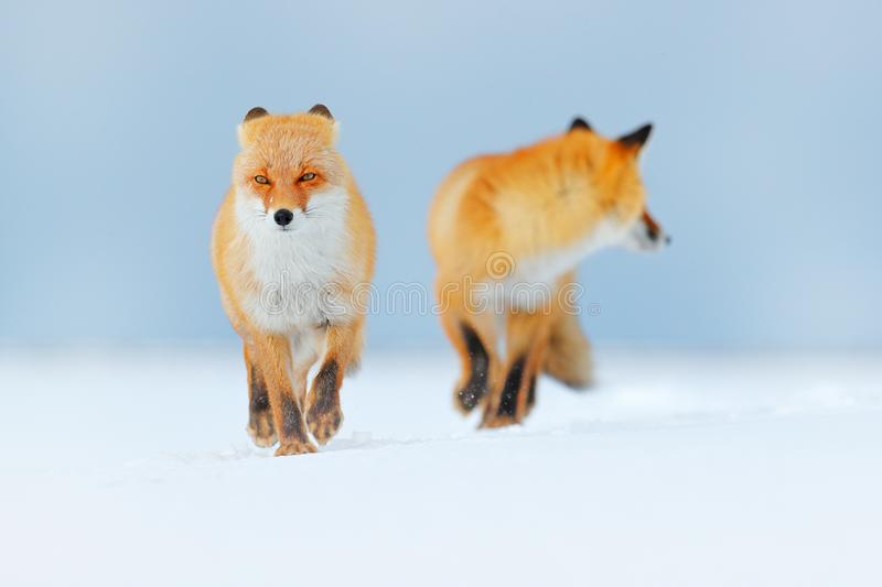 Red fox pair playing in the snow. Funny moment in nature. Winter scene with orange fur wild animal. Red Fox in snow winter, Wildli. Red fox pair playing in the stock image