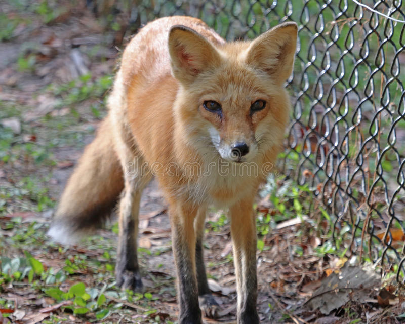 Red Fox. Passing along a fence in the Homosassa Springs state wildlife park stock photography