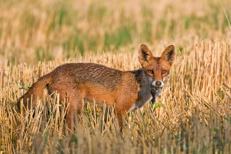 Download Red fox stock image. Image of fauna, orange, mammal, vulpesvulpes - 39503685