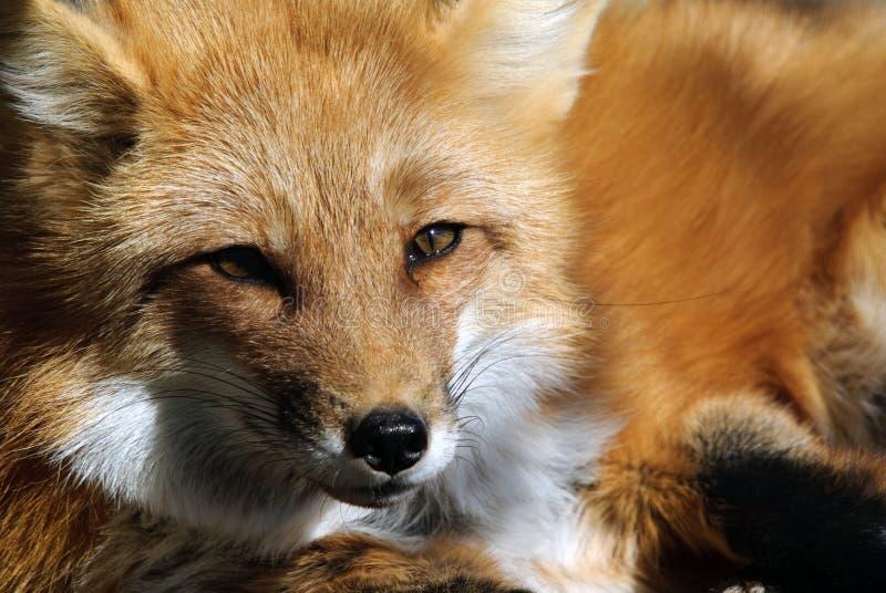 Download Red Fox Portrait stock image. Image of predator, wild - 10265647