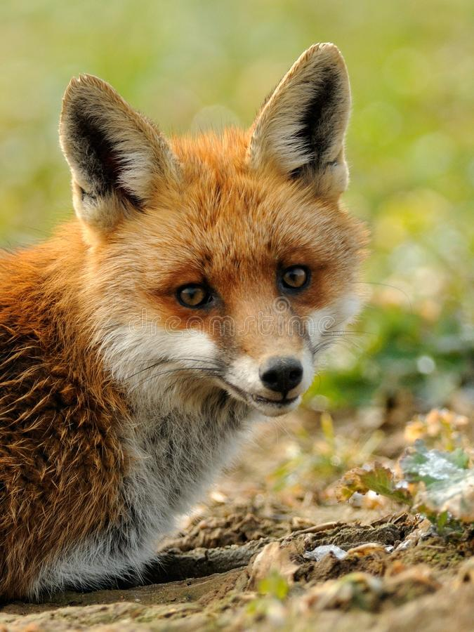 Red Fox. This is a portrait of a fox stock photography