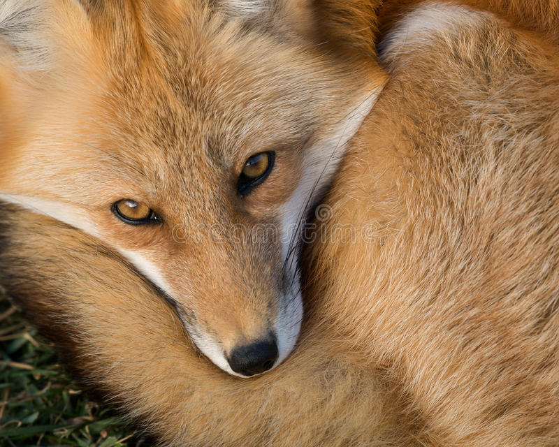 Red Fox portrait. Baby Red fox (Vulpes vulpes) closeup portrait royalty free stock photo