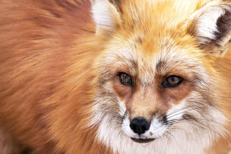 Red fox portrait. Ure of face and fur. Animal, zoo, wildlife, animals concepts, adorable, background, beautiful, beauty, breed, brown, canine, close, up, closeup royalty free stock images