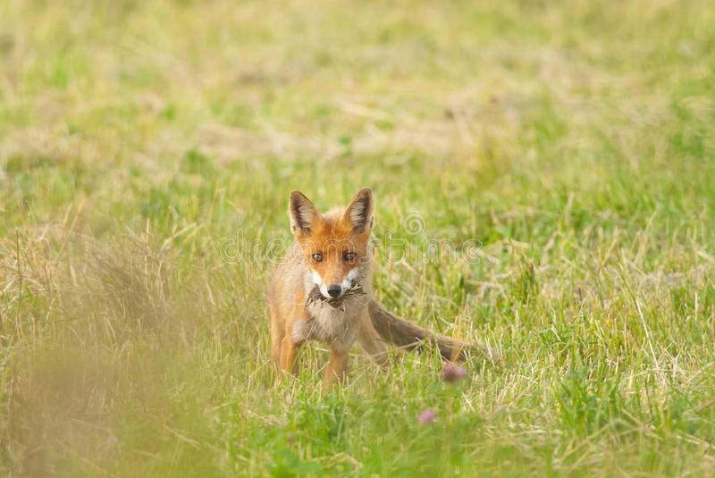 Red Fox with a prey. Wild red fox with prey - a mouse royalty free stock image