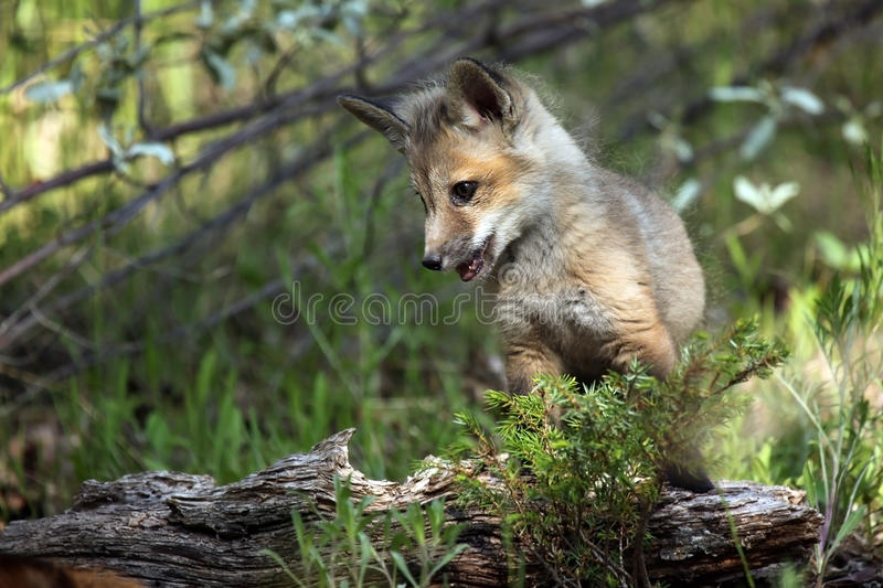 Red Fox Pup royalty free stock photos