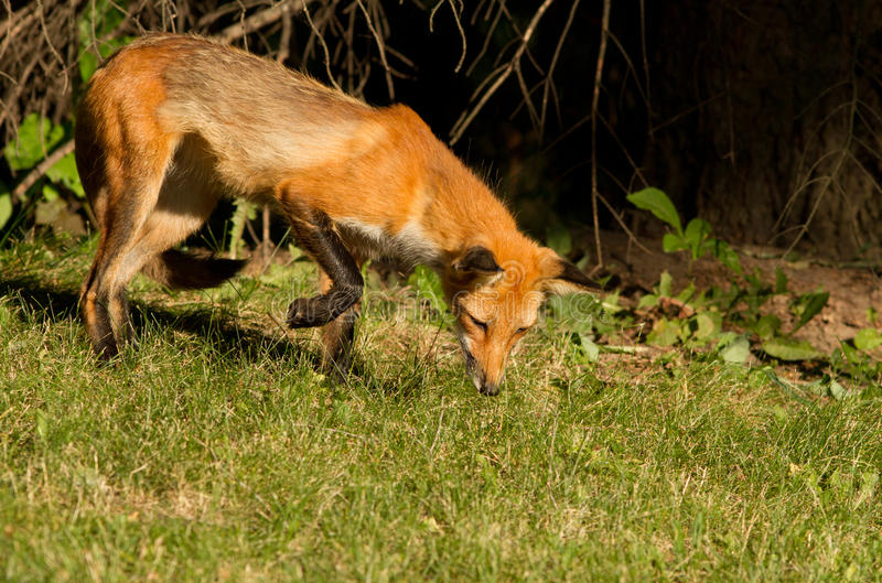 Download Red fox puppy stock photo. Image of look, horizontal - 25664492
