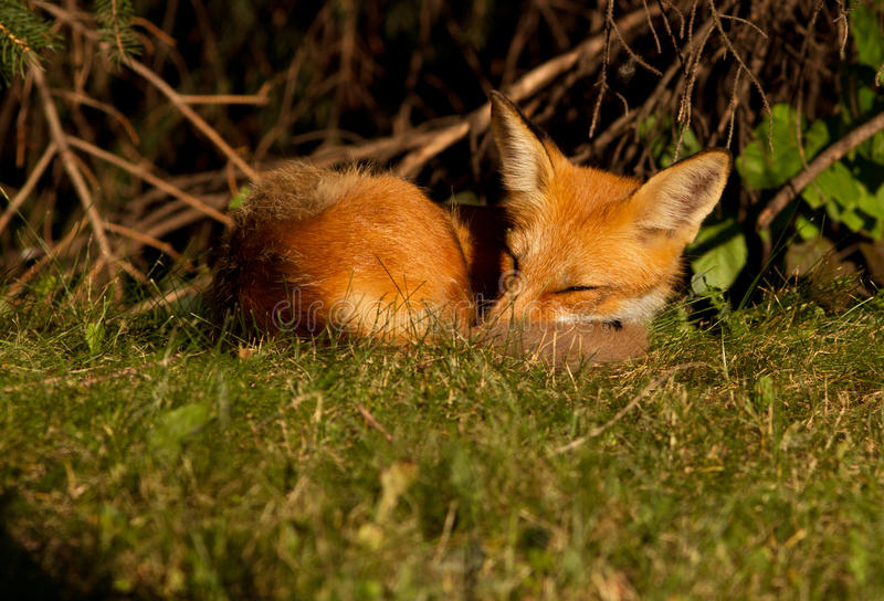 Download Red fox puppy stock photo. Image of america, carnivore - 25664524