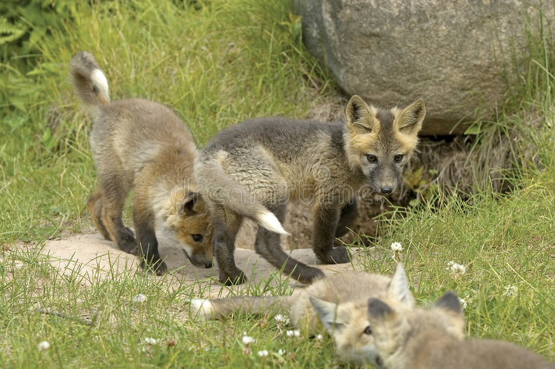 Red fox pups. Playing at the entrance to den stock images