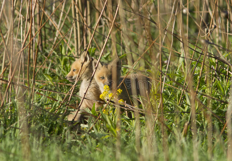 Download Red fox pups stock image. Image of foxes, hunting, animals - 31127205