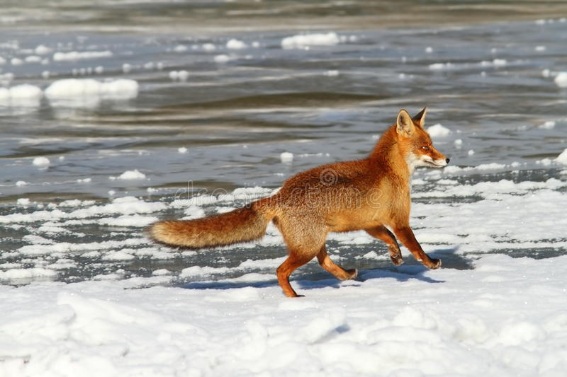 Red fox running on ice. Red fox running on frozen surface of a lake, winter image stock photos