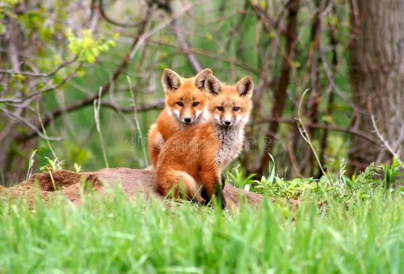 Red Fox Siblings royalty free stock image