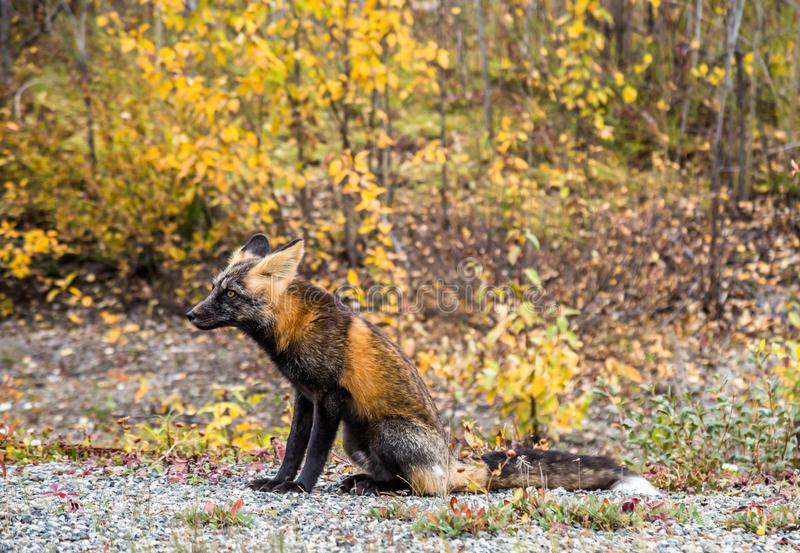 Adult red fox with ears pinned back sitting among the autumn foliage of British Columbia, Canada. A red fox sitting among the colors of autumn in British royalty free stock photos