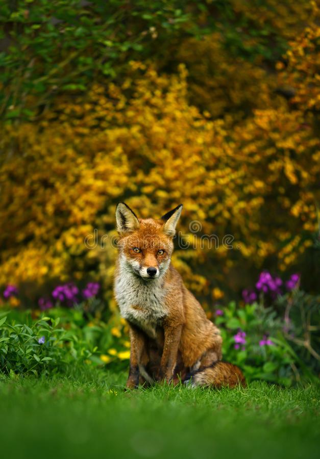 Red fox sitting in the garden in front of yellow flowering scrub stock photo