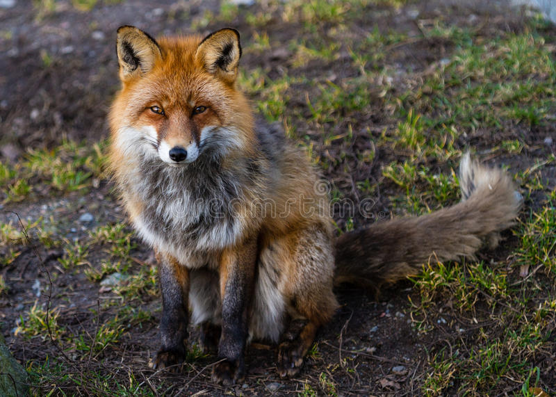 Red fox sitting on the ground stock photography