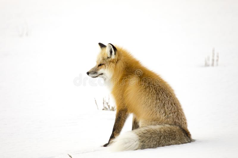 Mature red fox isitting n snowy field in Yellowstone National Pa. Red fox sitting in snowy field in Lamar Valley of Yellowstone National Park, Wyoming, USA in stock images