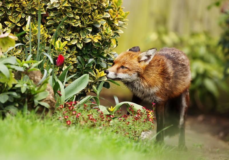 Red Fox smelling the flowers in the garden royalty free stock photo