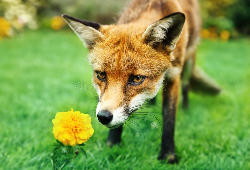 Red fox smelling marigold flower in the garden royalty free stock images