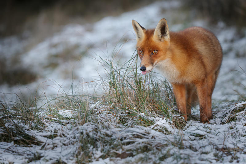 Red fox in snow. A red fox sticks out his tongue in winter royalty free stock image
