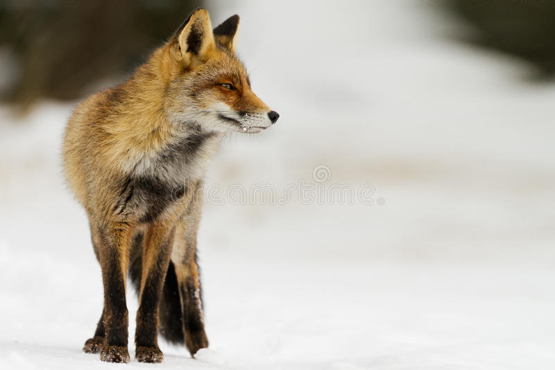 Red fox in the snowy landscape royalty free stock photo