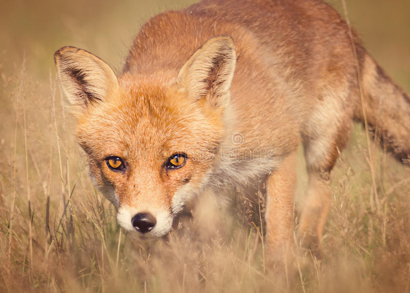 Red fox. Soft stylized image of a European Red Fox ( Vulpes vulpes