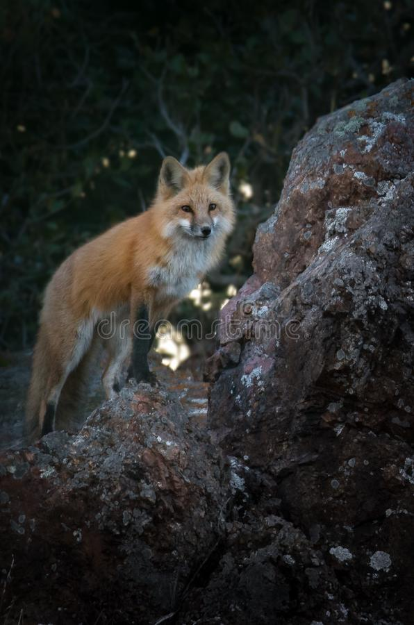 Red Fox Standing on a Boulder Searching for Signs of Prey stock image