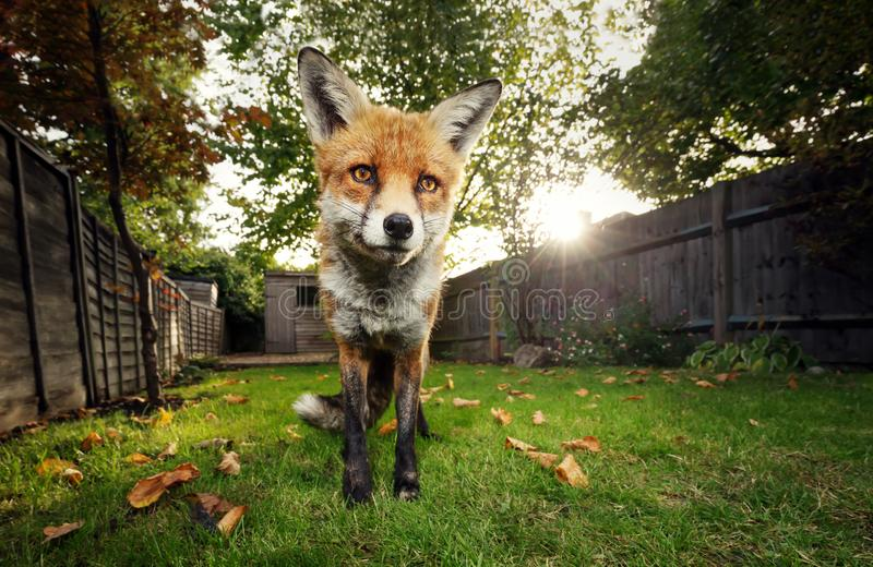 Red fox standing in the garden in autumn royalty free stock images