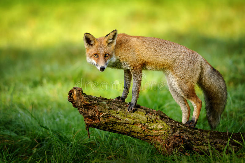 Red fox standing on tree trunk. In green grass on nice autumn sunlight royalty free stock images