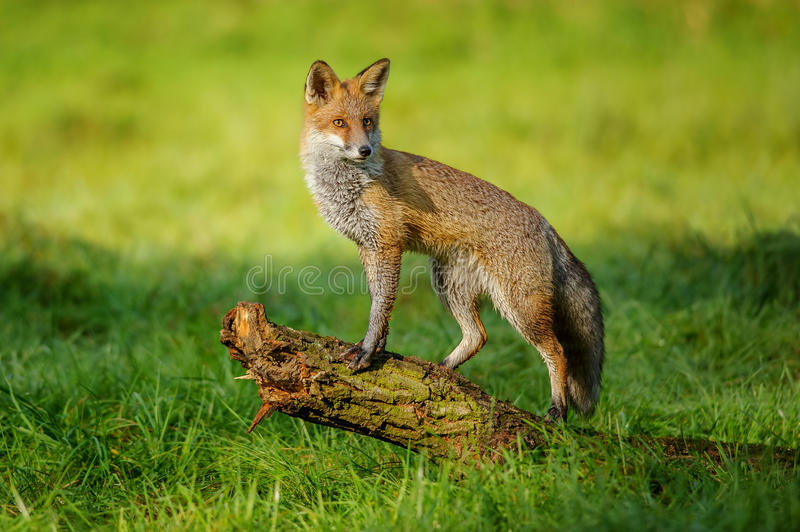 Red fox standing on tree trunk. In green grass on nice autumn sunlight stock images