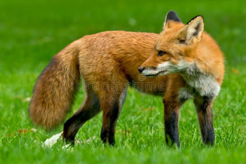 Red Fox. Standing watch on a manicured lawn. Rosetta McClain Gardens, Toronto, Ontario, Canada stock photos