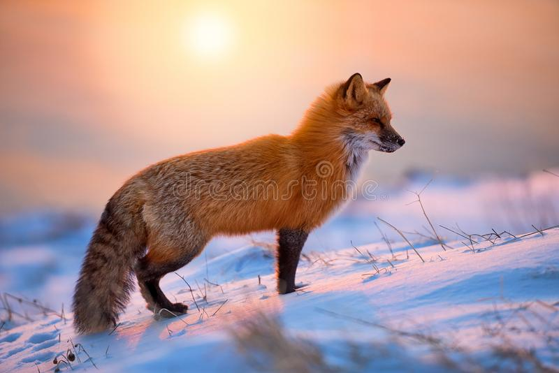 Red Fox At Sunrise royalty free stock photos