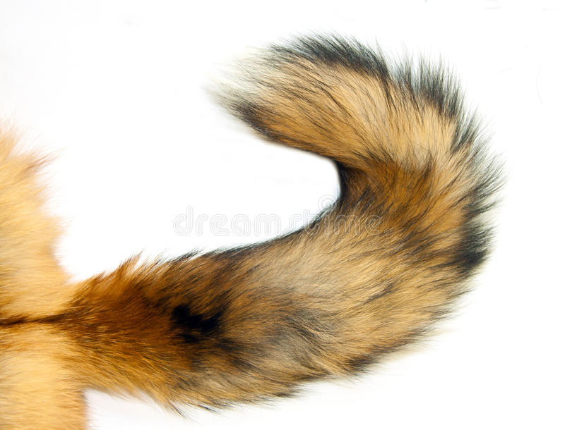 Download Red Fox tail stock image. Image of isolated, behind, wild - 21808895