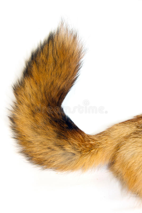 Red Fox tail royalty free stock photography