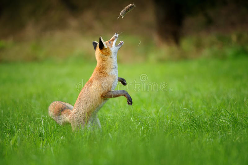 Red fox throwing haunted mouse upon green grass. Playfull red fox throwing haunted mouse upon green grass during autumn near forest stock photos