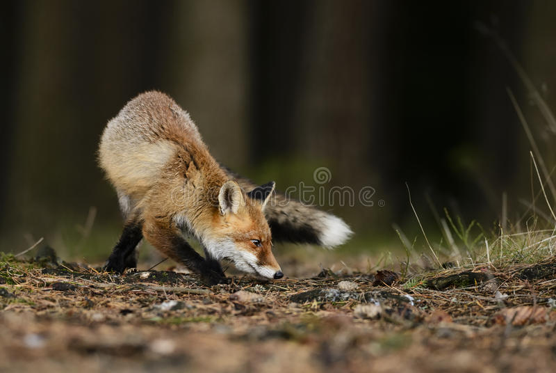 Red Fox. Tracing in forest stock photo