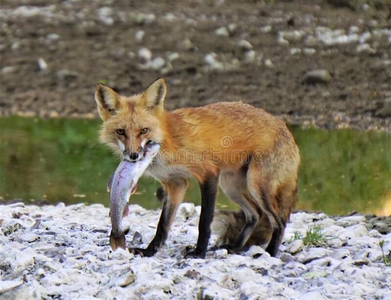 Red fox with trout. Red fox standing on banks holding fresh caught trout royalty free stock image