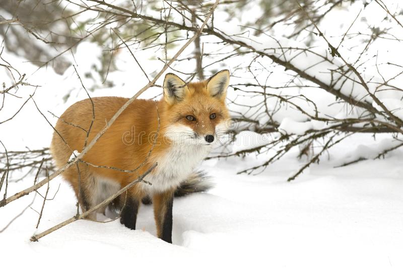 A Red fox Vulpes vulpes with a bushy tail hunting through the snow in winter in Algonquin Park, Canada. Red fox Vulpes vulpes with a bushy tail hunting through stock photos
