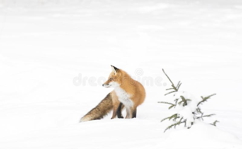 A Red fox Vulpes vulpes with a bushy tail isolated on white background walking and hunting through the snow in winter in Algonq. Red fox Vulpes vulpes with a royalty free stock images