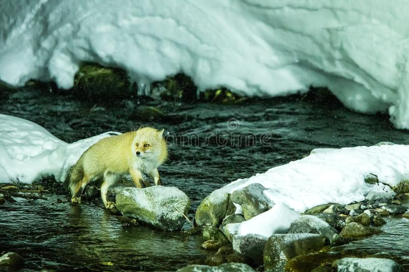 Red fox, vulpes vulpes,  hunting fish in cold water creek,  unique natural beauty of Hokkaido, Japan, adventure in Asia, mammal in. Winter scene, wildlife stock photo